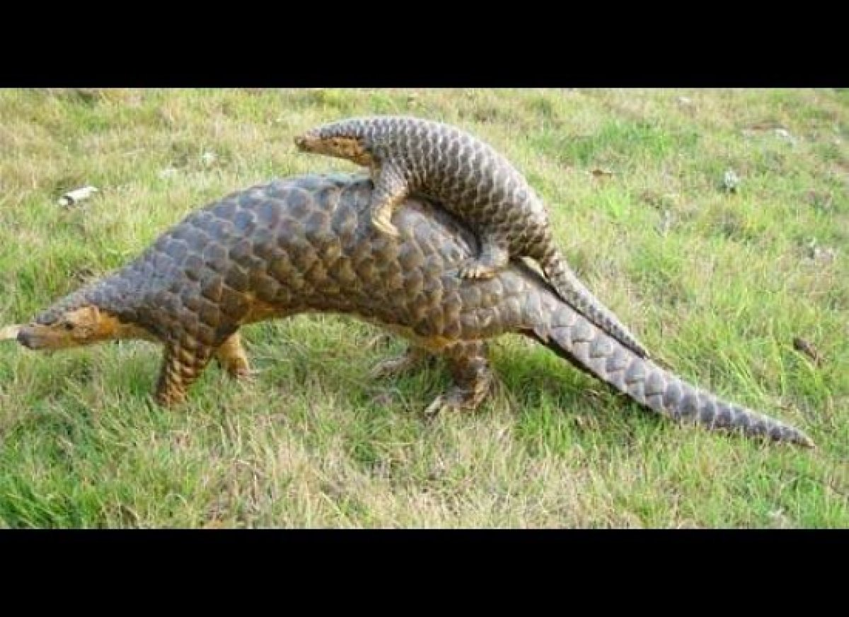 That's what I thought they said anyway…It's not, turns out I was casually eating a Chinese Pangolin. Sadly, the pangolin is a
