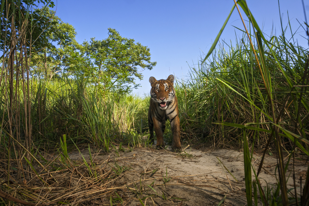 Tigers live in perhaps the highest density in Kaziranga National Park of any place in India. In other national parks in India