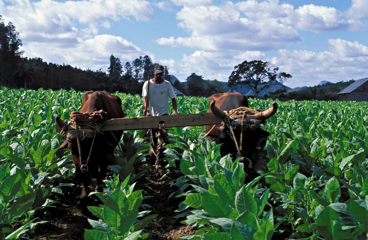 Oxen pair pulling plow through tobacco field, Vinales Valley, Western Cuba.
