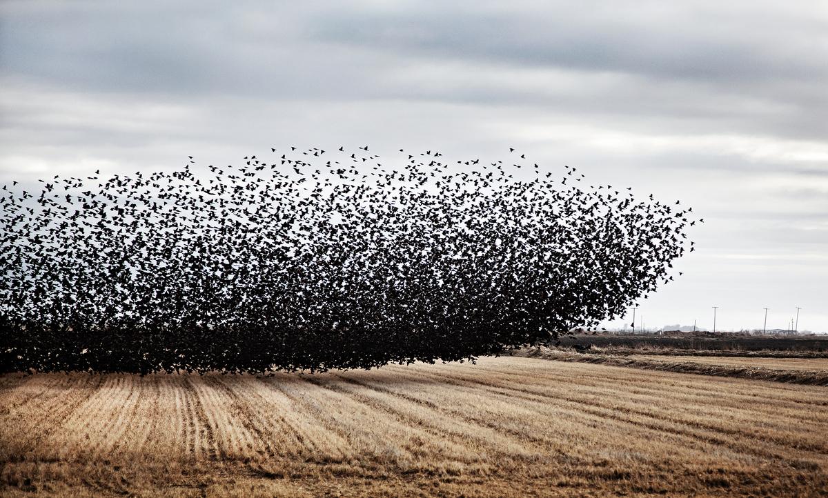 Starlings  Firebaugh, Calif.