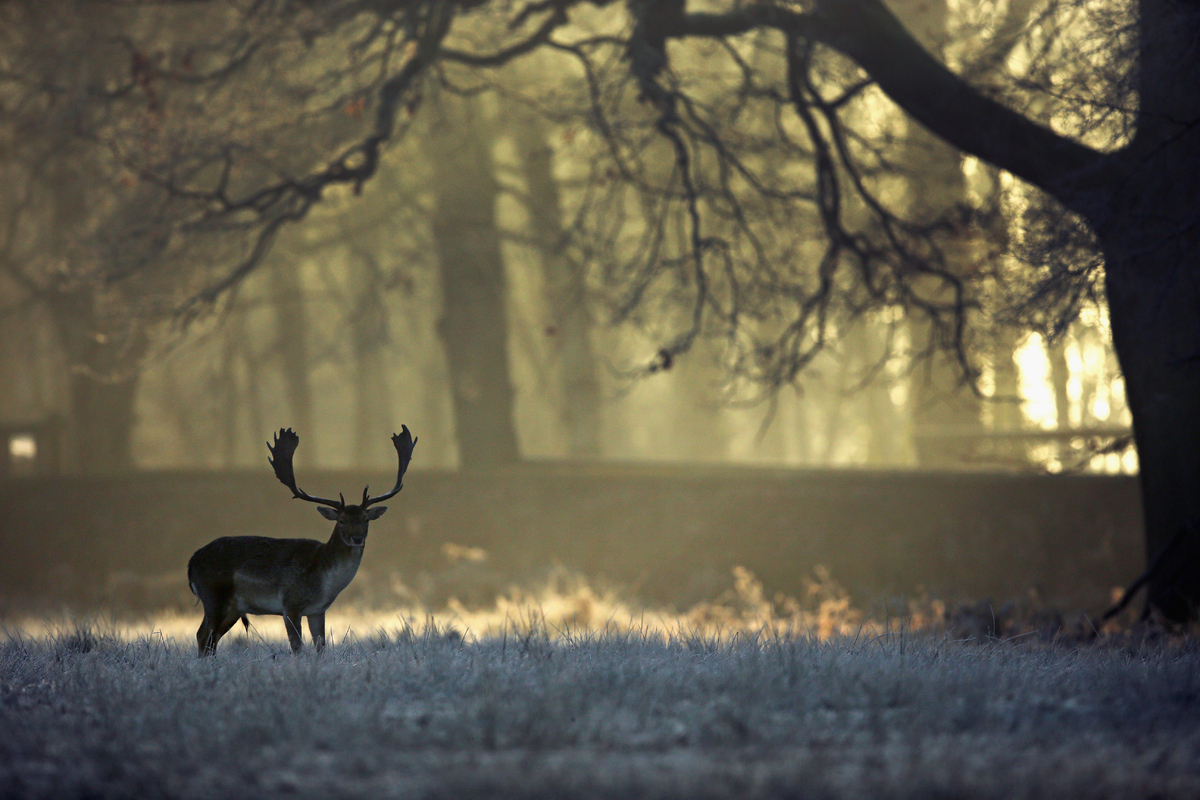 A deer waits in woodland as the rising sun begins to burn off overnight frost at the National Trust's Dunham Massey Park on D