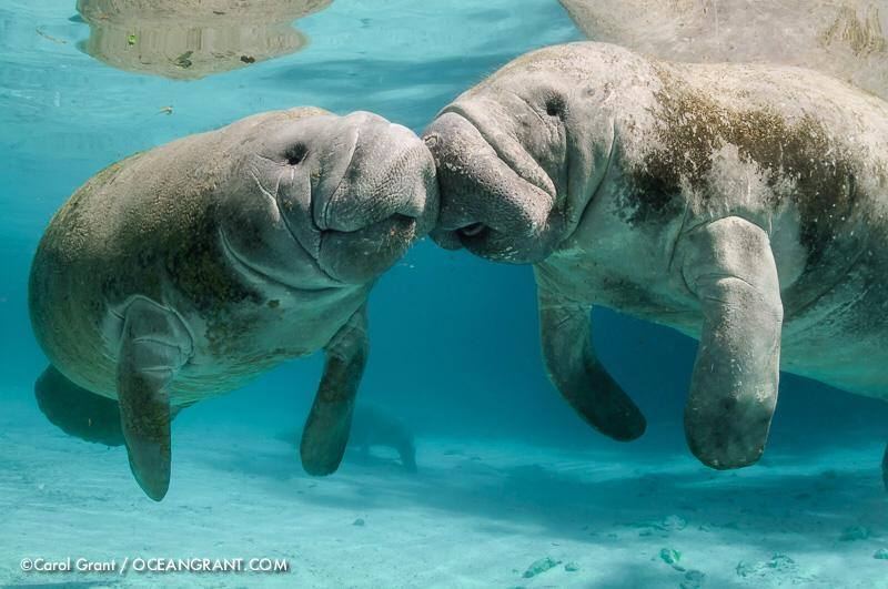 """Check out more Three Sisters manatee pics on <a href=""""https://www.facebook.com/oceangrantimages?pnref=lhc"""" target=""""_hplink"""">l"""