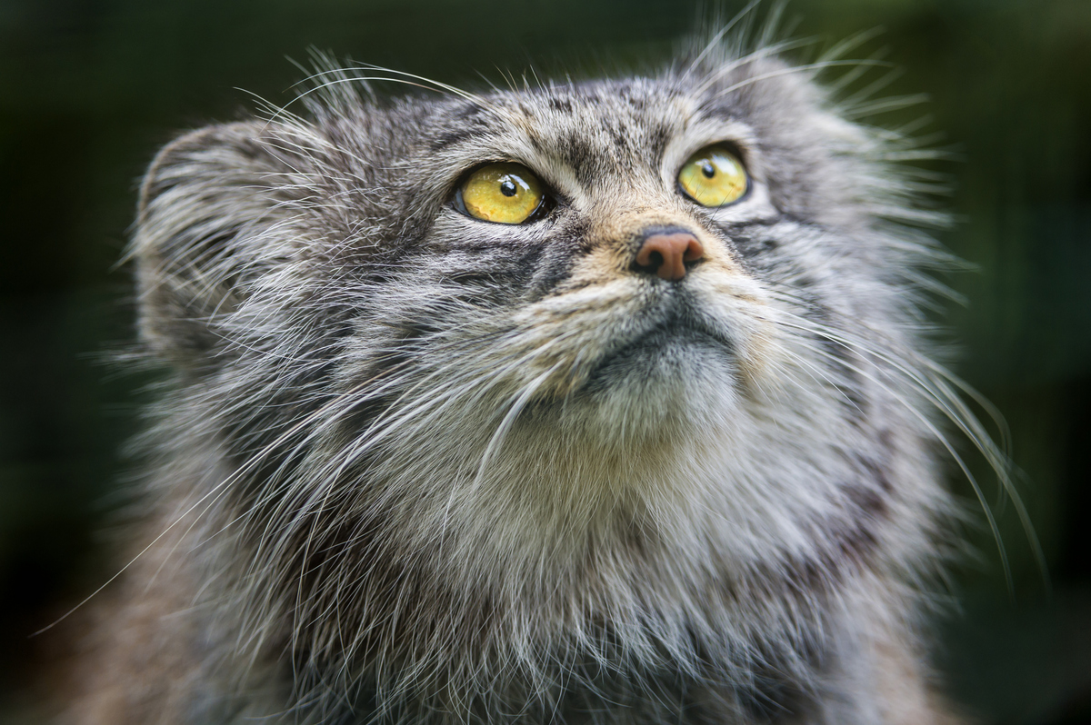 Why the pallas cat should become your new favorite animal huffpost publicscrutiny Images