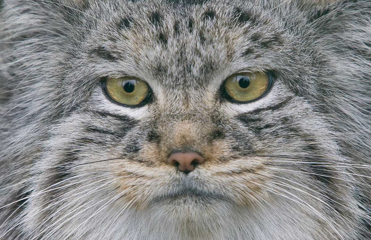 Why the pallas cat should become your new favorite animal huffpost diane seddon photography via getty images publicscrutiny Images