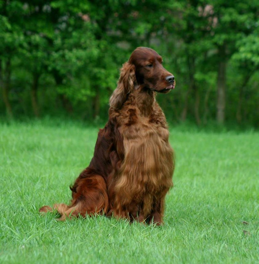 Jagger, and Irish Setter, died mysteriously at the Crufts dog show.