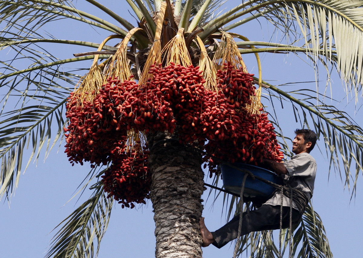 "Harvesting dates means climbing up the distance of tall palms, which can <a href=""https://www.britannica.com/EBchecked/topic/1"