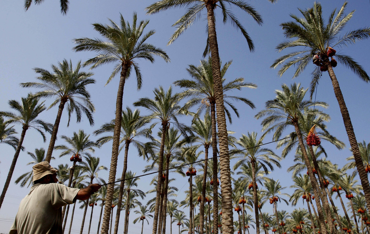 Yes, at the top of palm trees. Contrary to popular belief, not all palm trees grow coconuts. The date palm grows, well, dates