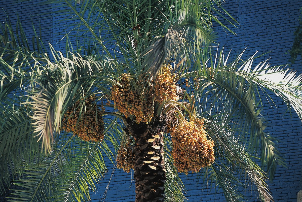 One more reason to climb up the length of the tall palms. In order to guarantee a successful harvest the date strands are thi