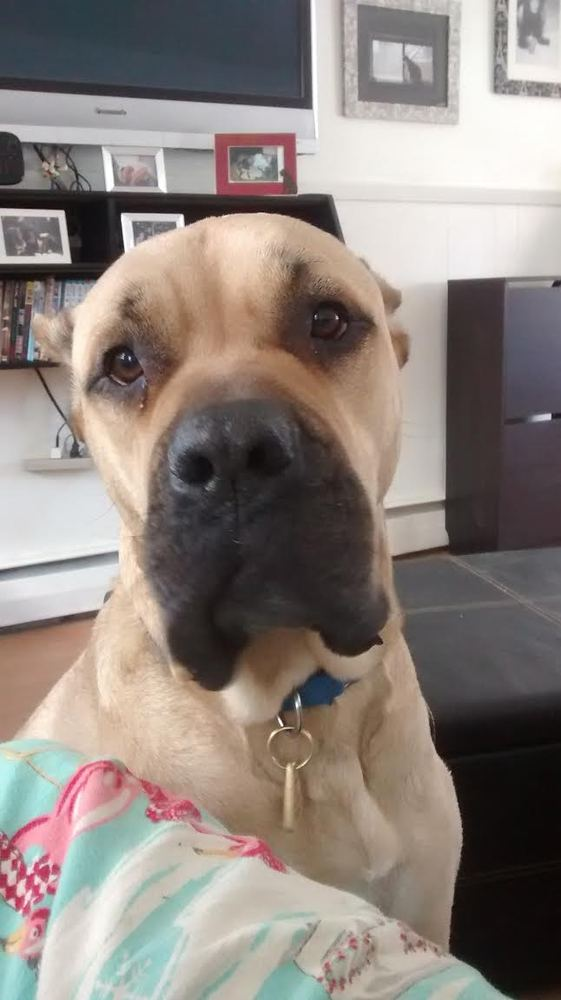 Mowgli, a bull mastiff mix who's 3 years old and 140 pound, likes hanging out with people, dogs and cats.   He was surrendere