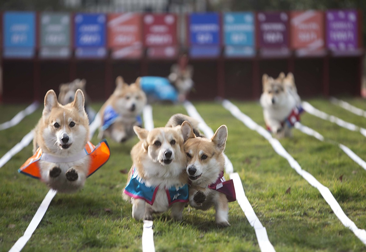 Royal Baby Name Revealed If These Racing Corgis Have Any Say In - These baby corgis running in slow motion are the most hilariously adorable thing in the world