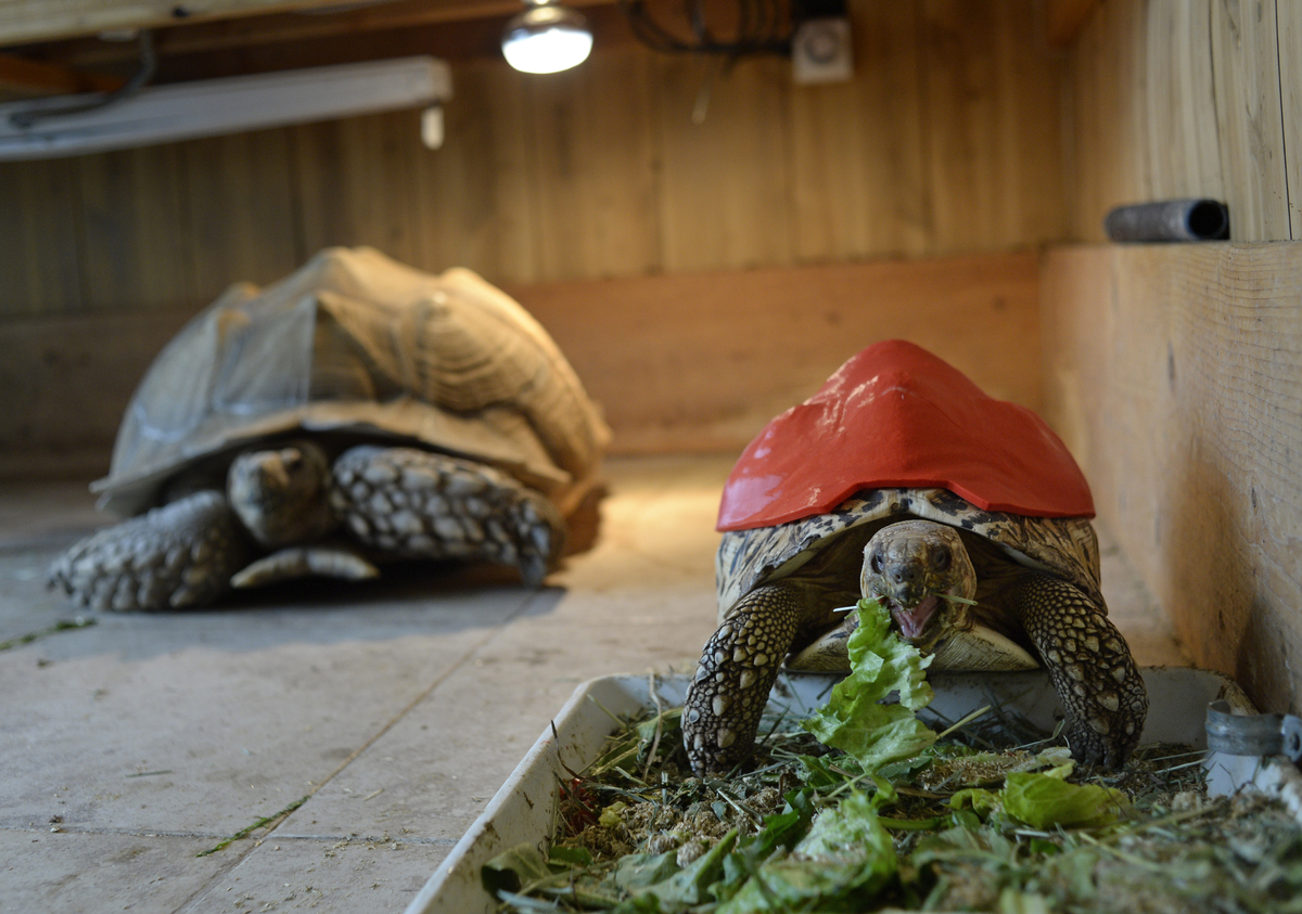 Cleopatra, a leopard tortoise, whose shell is deformed because of malnutrition, wears a prototype 3-D printed prosthetic she