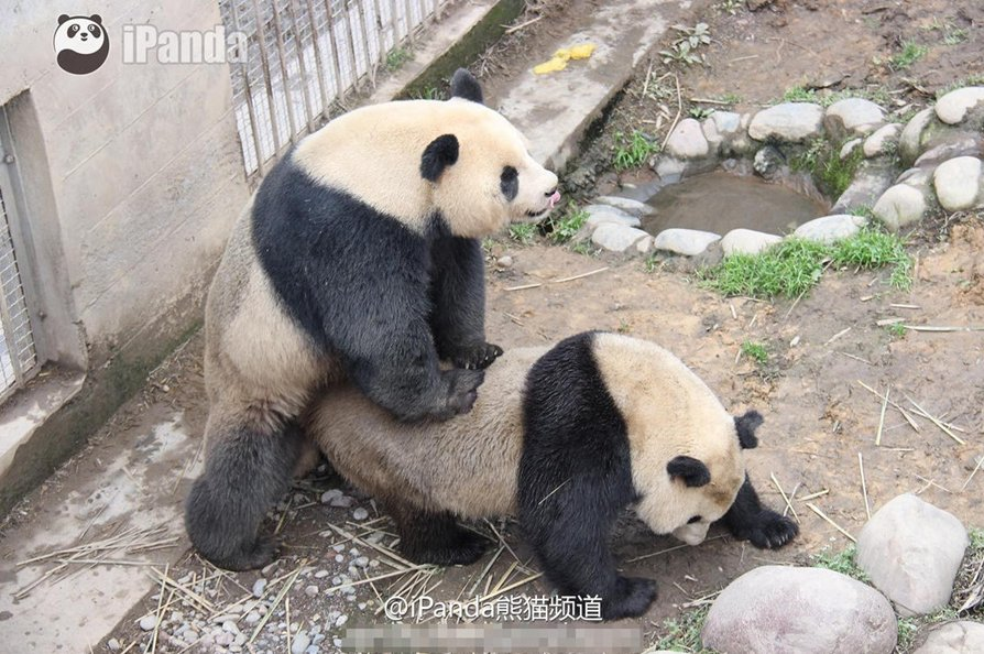 having sex with panda