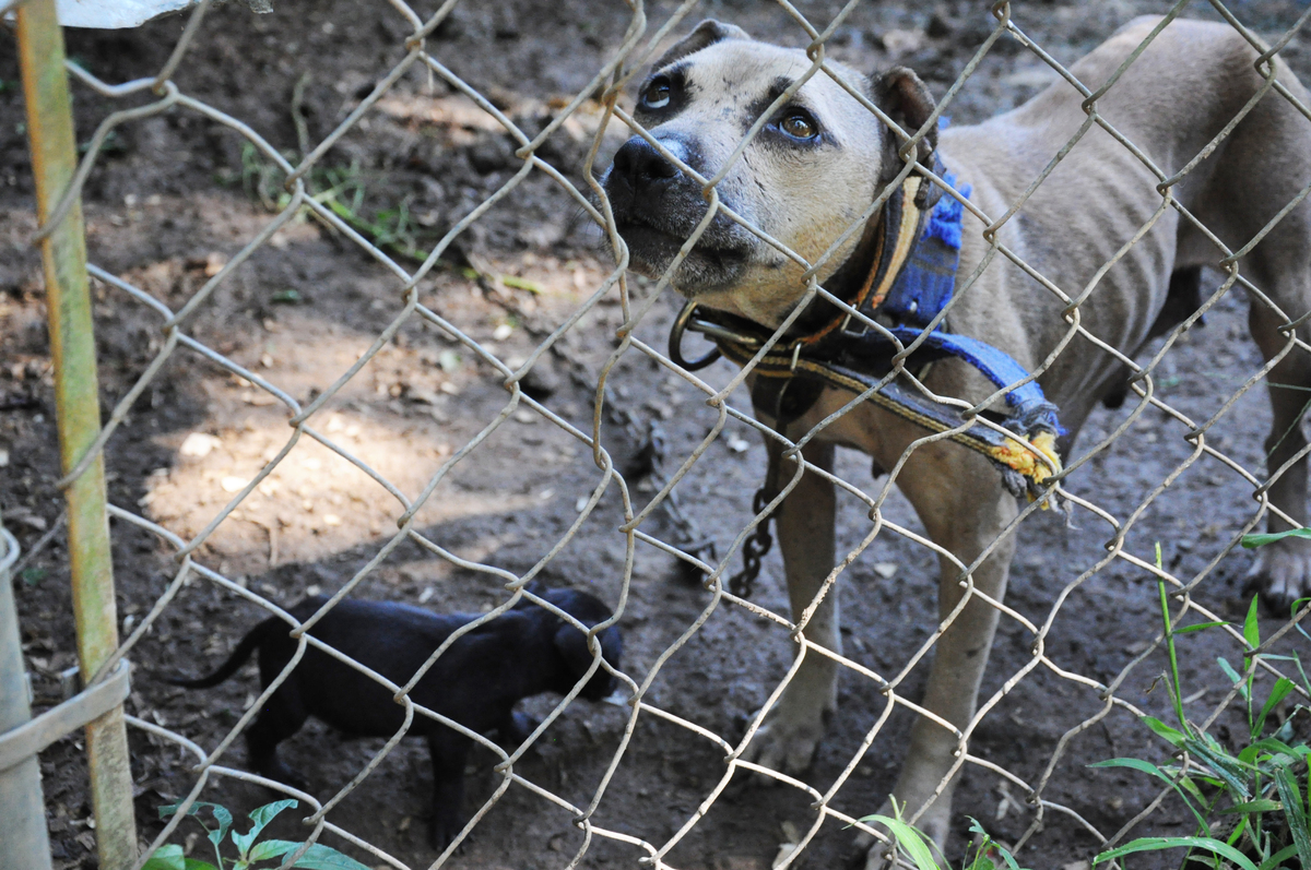 """These photos are from a 2013 4-state dog fighting bust. It resulted in <a href=""""http://www.humanesociety.org/news/press_relea"""