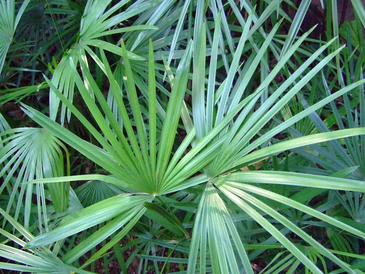 One of the easiest houseplants to care for, Lady Palm is also highly resistant to attacks by insects. It grows slowly, and is