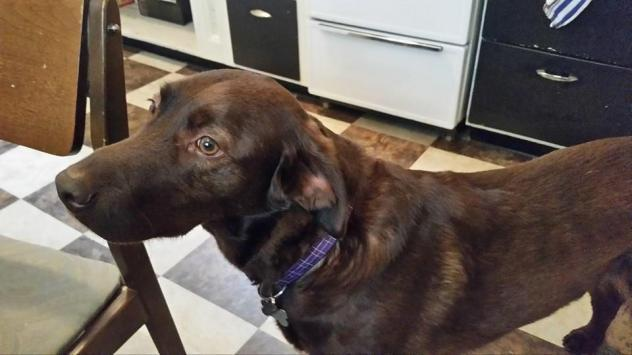 A 2 year old lab setter mix. He is sweet, active, and very loyal to his humans.