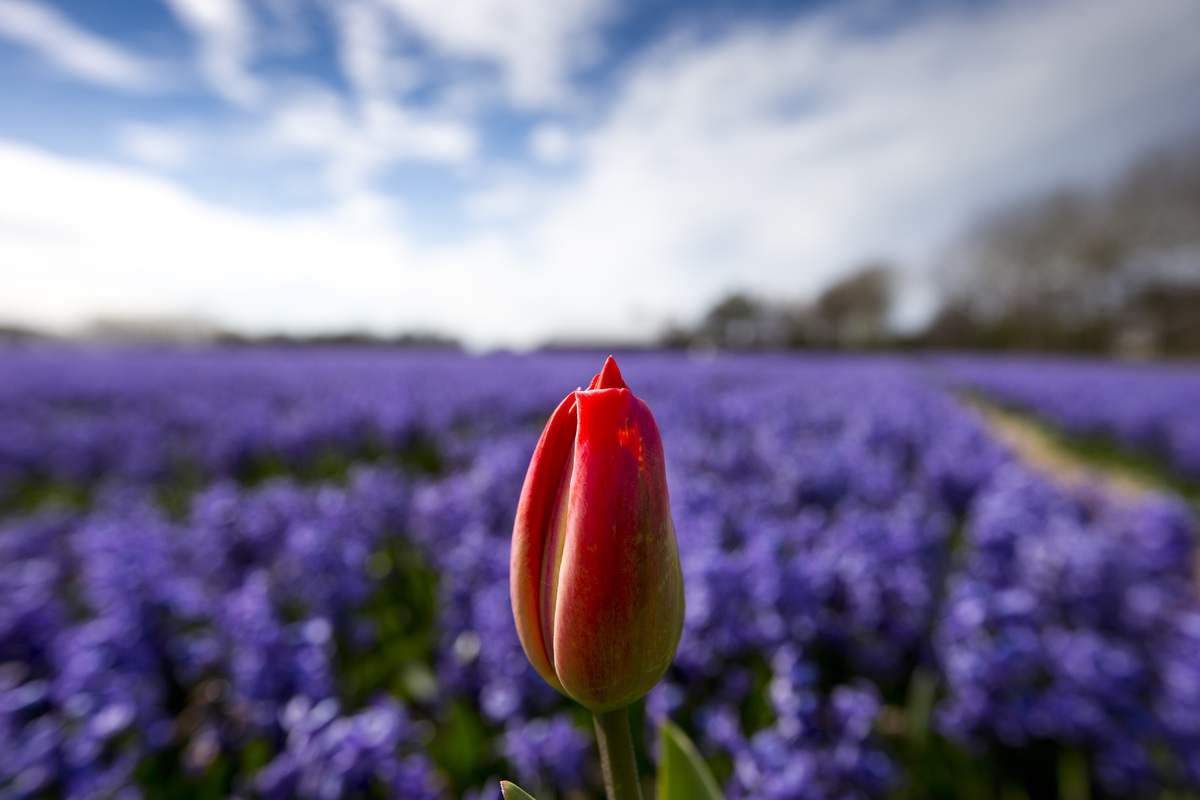 A lone tulip sprouts up in a field of blossoming hyacinths near Lisse, Netherlands, Thursday, April 16, 2015. Flowers are lef