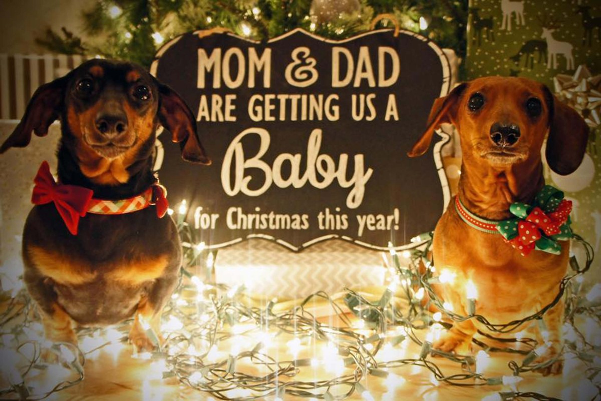 Adorable Dogs Who Shared Their Familyus Pregnancy News In The Best Way Huffpost With Creative Ways To Announce Family On Christmas