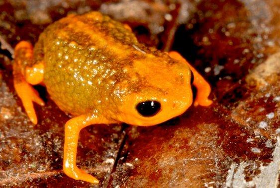 """This frog is named after the Fundação Grupo Boticário de Proteção à Natureza, which partially funded the study and is """"a majo"""
