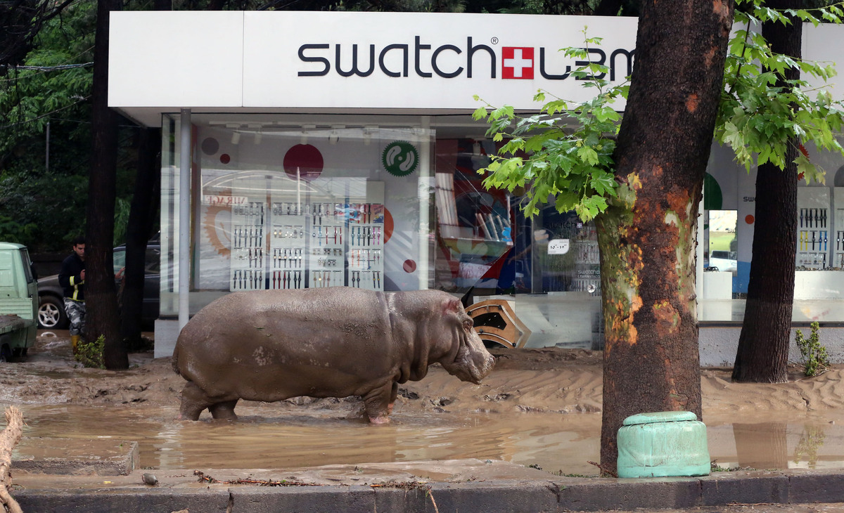 A hippopotamus stands in the mud in front of a Swatch watch kiosk after it escaped from a flooded zoo in Tbilisi, Georgia, Su