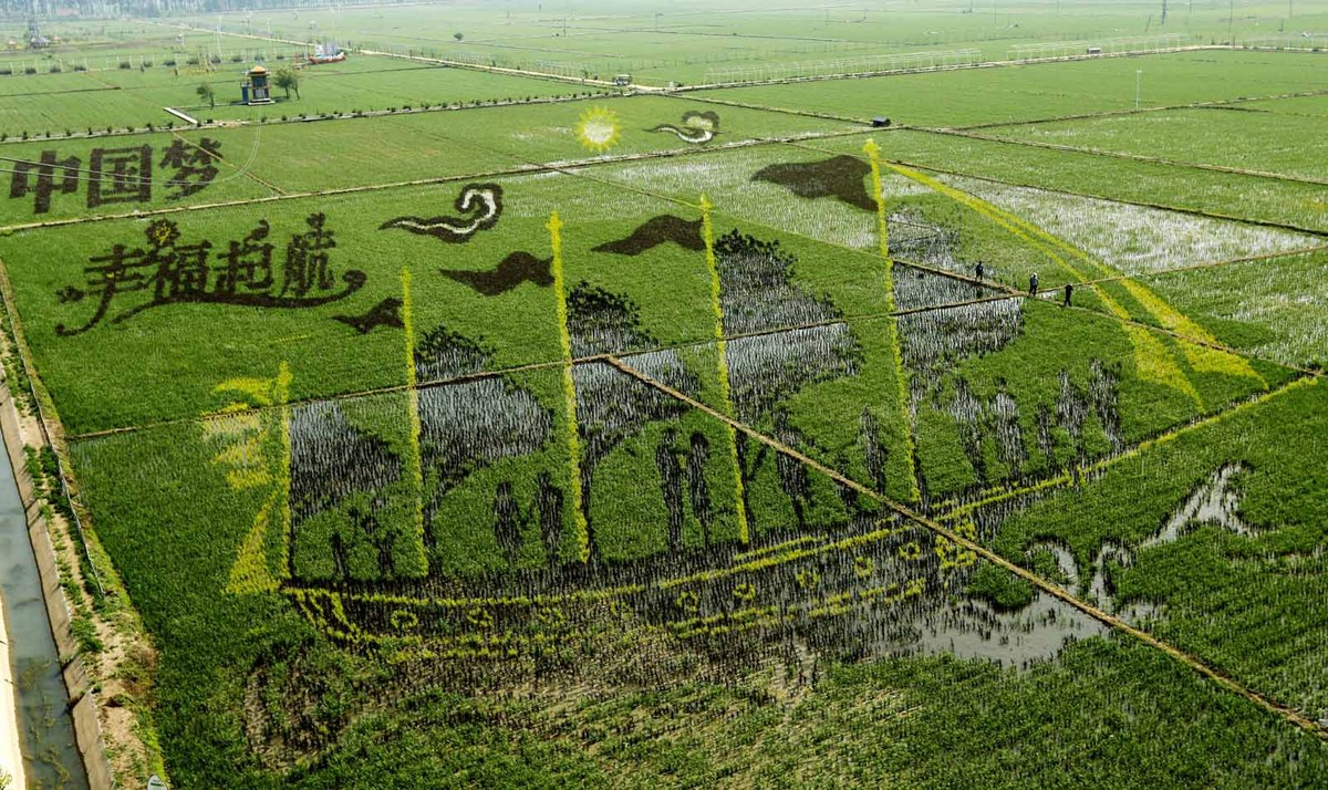 A 3D rice paddy painting is displayed at a paddy field in Shenyang city, in northeast China's Liaoning province, on June 22.