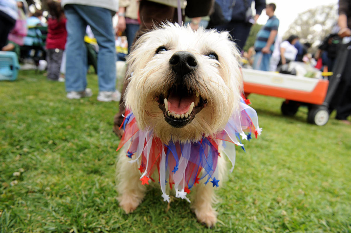Gussie, a carron terrier, wears a patriotic ruffle around her neck at the annual Blessing of the Animals in Los Angeles, Cali