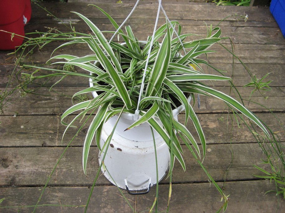 adair air plant how to grow and water it