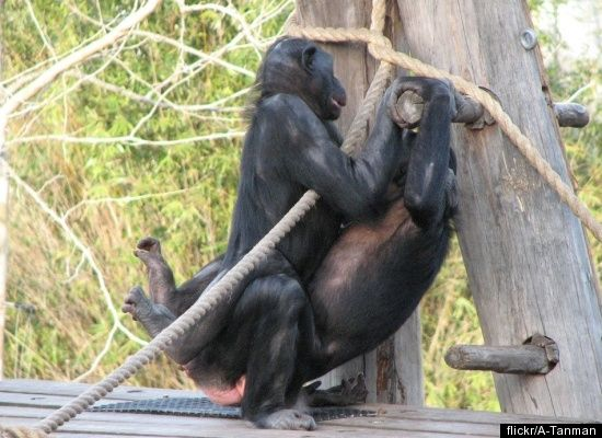 Bonobos, relatives of the common chimpanzee, have won a reputation for promiscuity. Bonobos do not form long-term, sexual par
