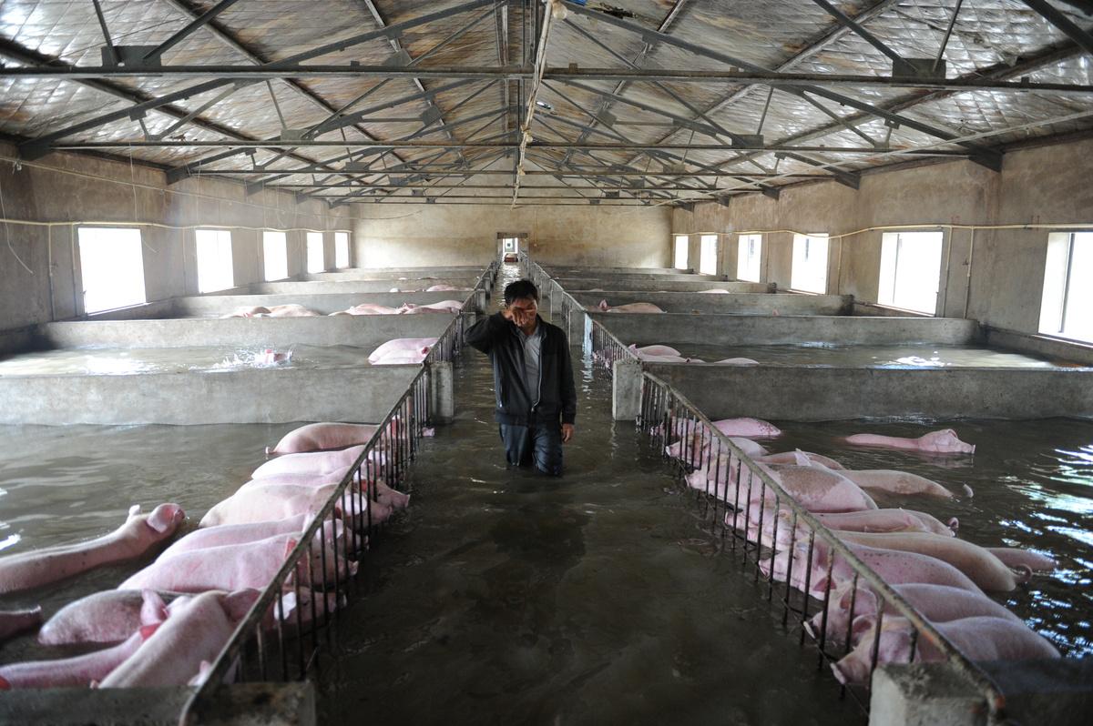 中国の洪水、豚6000頭も水の中に...
