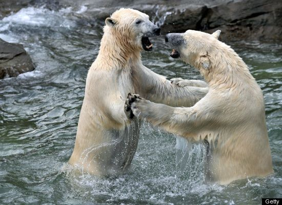 Did you know that polar bears have survived for 200,000 years and that they are the most recent type of bear species? <a href