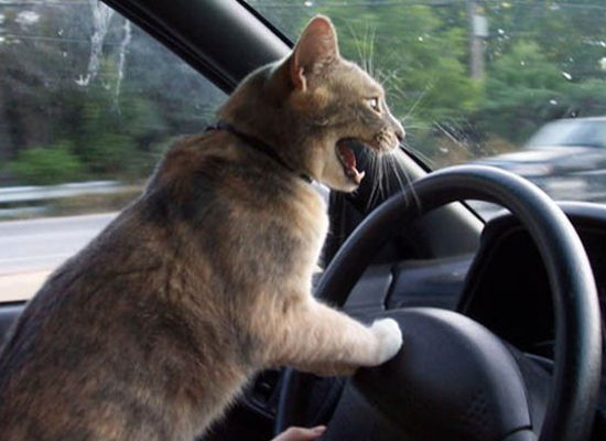 "I can haz brakes? (Via <a href=""http://www.pictures-cats.com/cat-driving.shtml"" target=""_hplink"">Pictures-Cats</a>)"