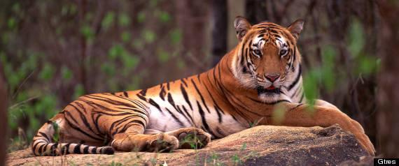 tigres están en peligro de extinción