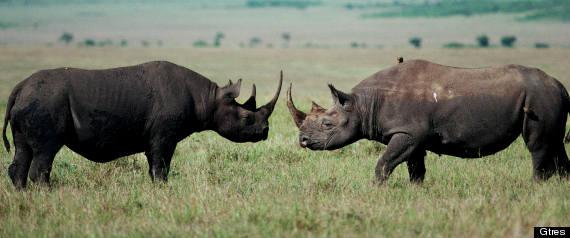 cuernos de rinoceronte para qué se usan