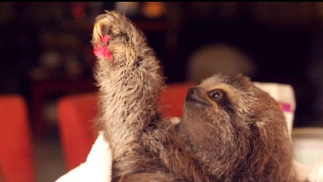 Matty The Baby Sloth Wants To Give You A Flower (VIDEO)