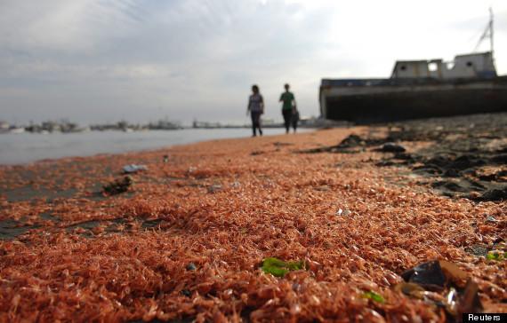prawns on the beach caleta rojas