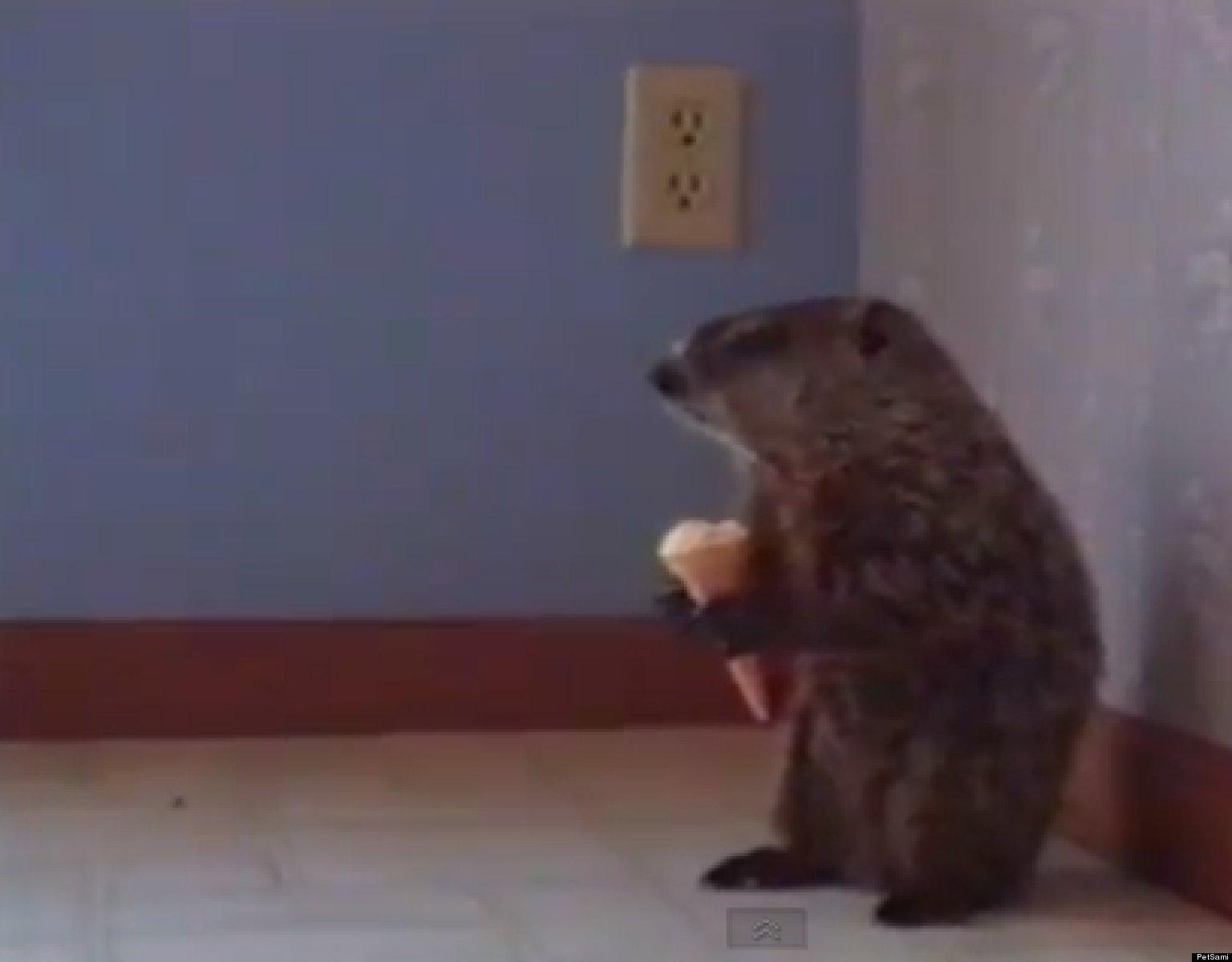 Uncategorized Woodchuck Video woodchuck eats an ice cream cone video huffpost
