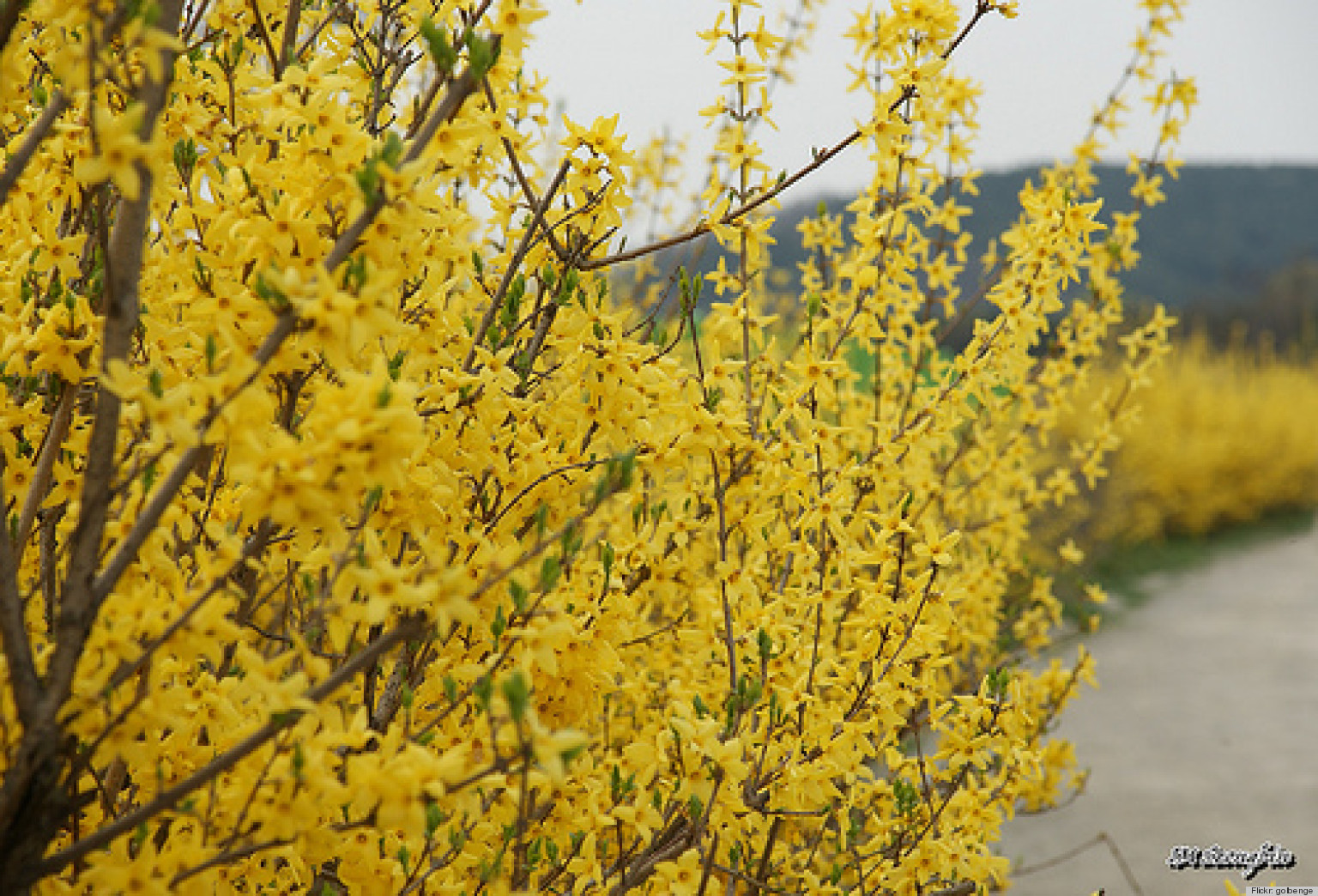 Garden Bush: Sprout Home Plant Of The Week: Beautiful Forsythia Plants