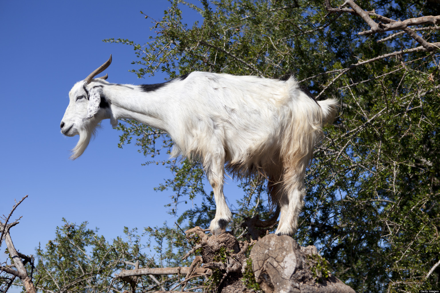 Decapitated Goat Chicago Headless On Golf Course Could Be Related To Wrigley Package