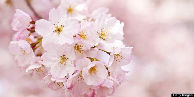 Cherry blossoms history behind the bloom huffpost mightylinksfo