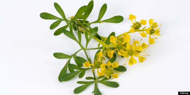 La planta de ruda c mo usarla para proteger tu hogar for Como se llaman las plantas ornamentales