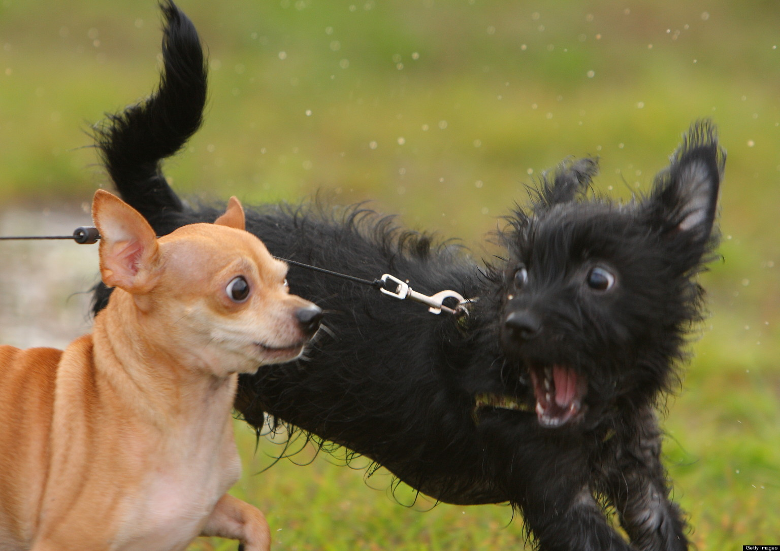 Running Of The Chihuahuas 2013: 'Paws' And Have Some Fun