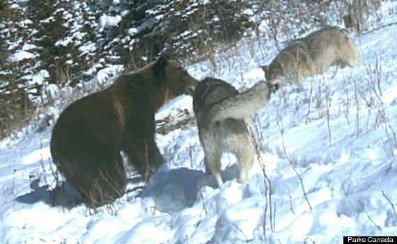 grizzly bears wolves waterton