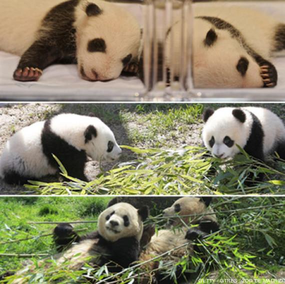 fotos pandas zoo madrid