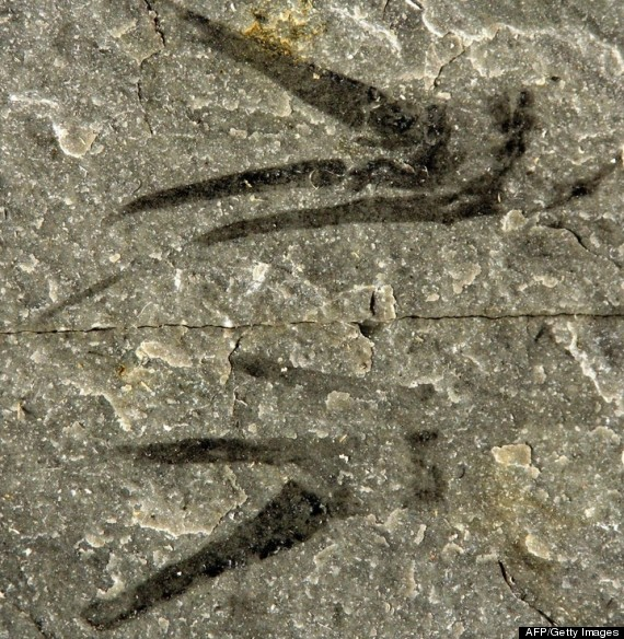 scissorhands fossil