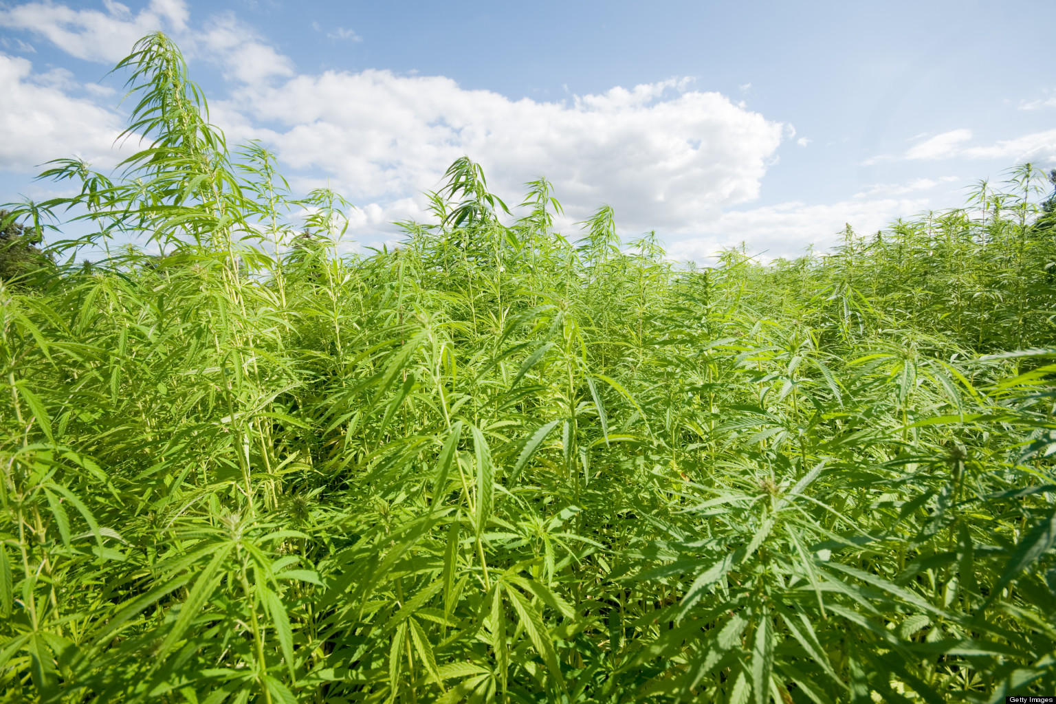the characteristics and uses of the hemp plant in the united states Marijuana and hemp are the two most commonly known names for the cannabis plant cannabis has just as much to do with industrial hemp products as it does with the.