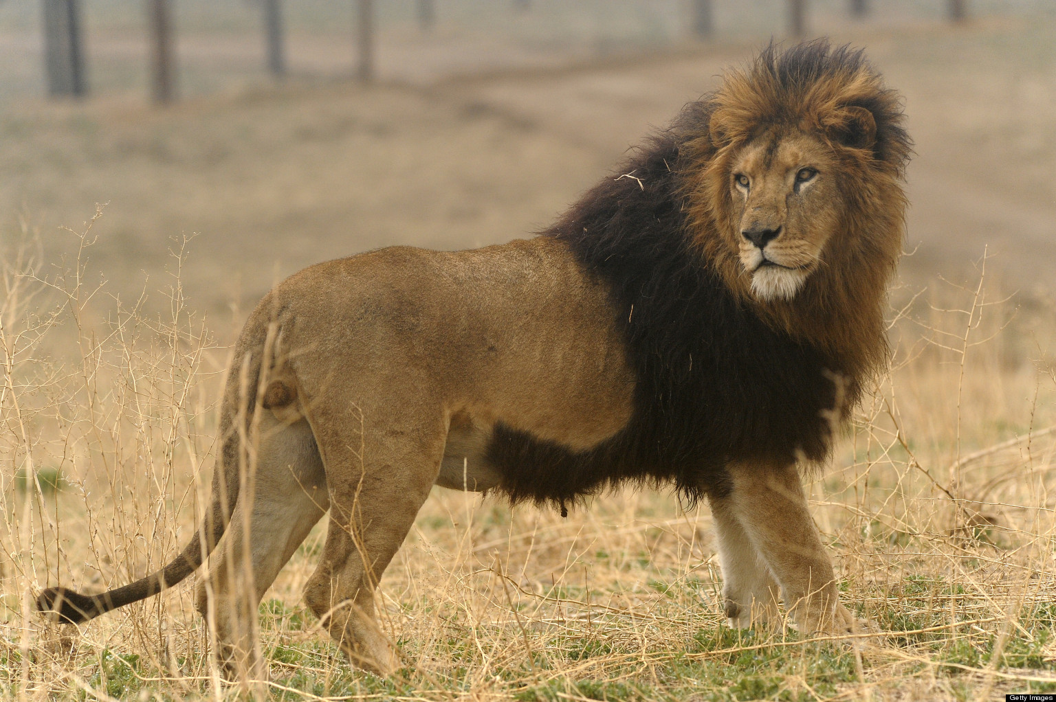 Beautiful Wallpaper Lion Facebook - o-LION-ARK-facebook  Image_477316.jpg
