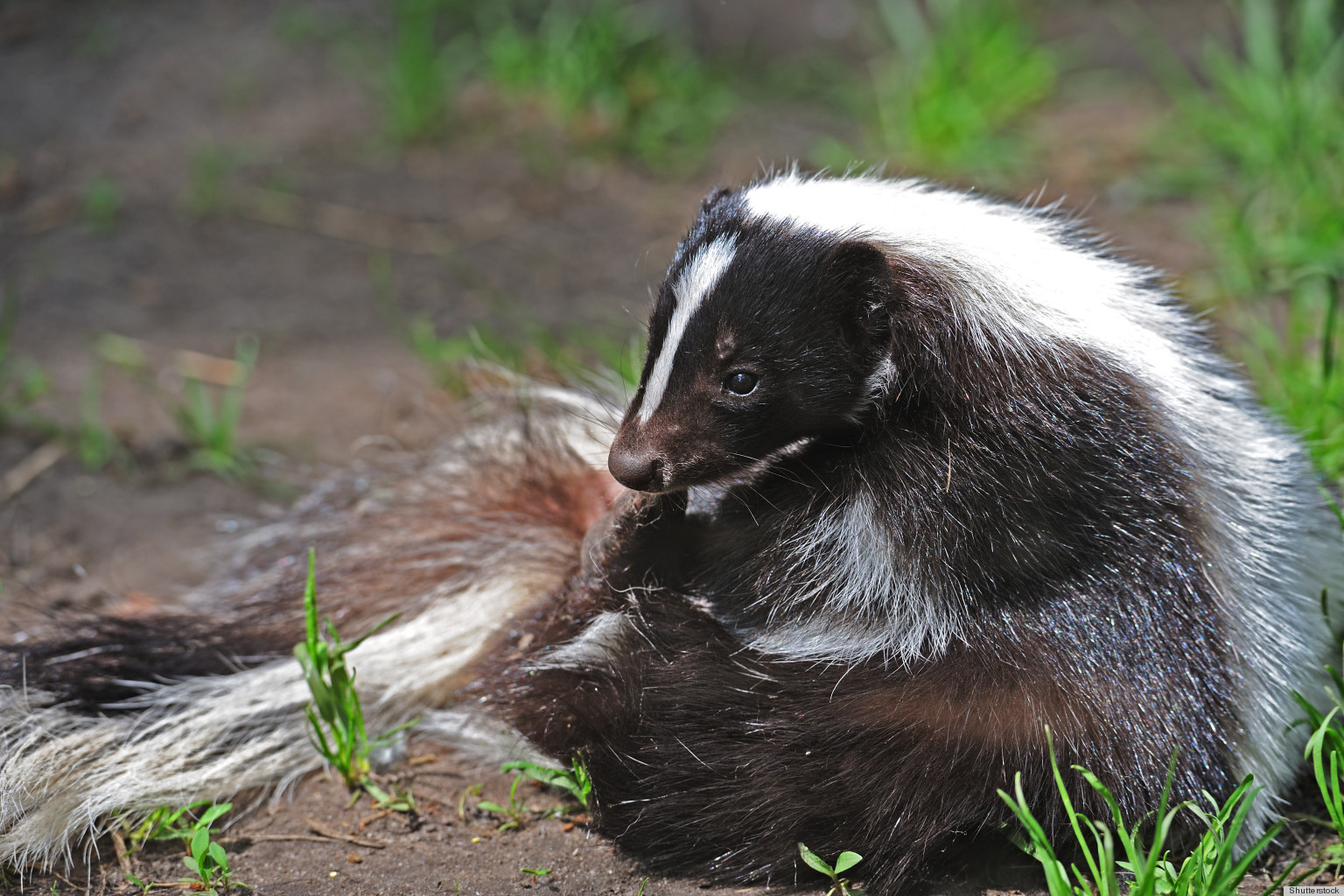 remove skunk odors from your home with just some vinegar