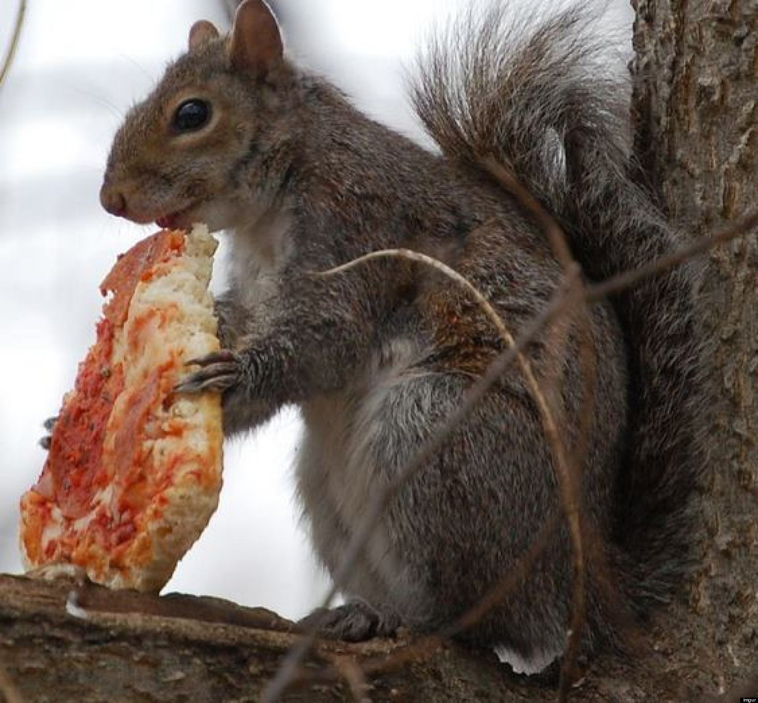 Image result for squirrels eating pizza