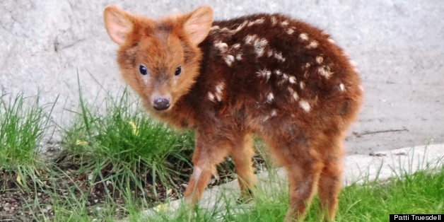 Baby Pudu, A Tiny Deer, Is Ridiculously Adorable, And She Loves Her Mom (PHOTO)