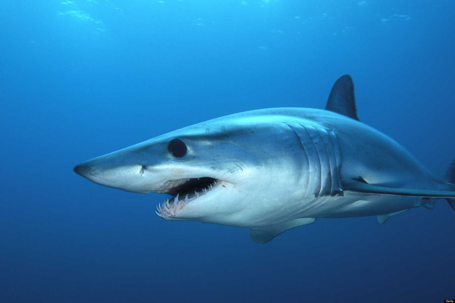 Images of Shark Jumping Out Of Water With Mouth Open - www