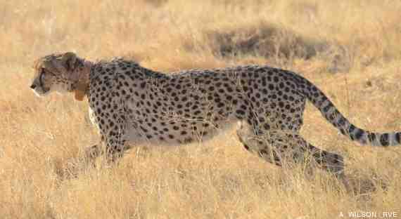 vídeo guepardo cazando